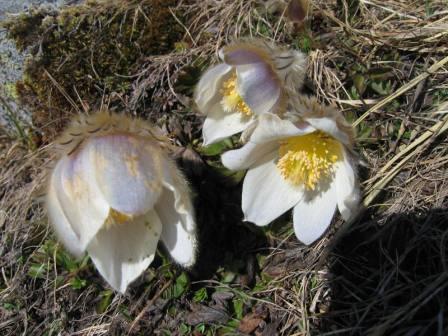 Frühlings-Küchenschelle