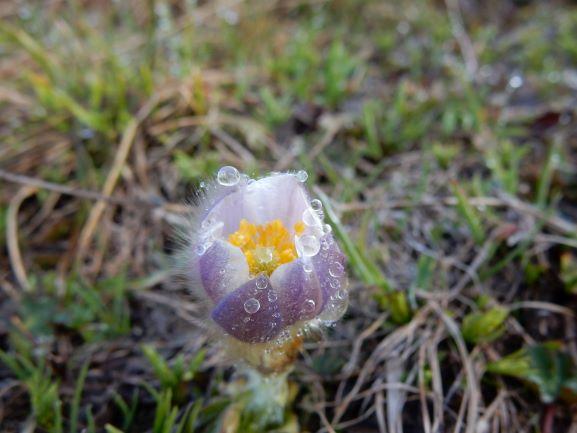 Flora_Lötschenpass_8